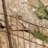 Kulczyk syryjski, Syrian Serin, Serinus syriacus, Góra Hermon, Izrael, 27.04.2015 (3) (Mt Hermon, Israel)