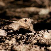 Lelek pustynny, Nubian Nightjar, Caprimulgus nubicus, Morze Martwe, Izrael, 28.04.2015 (2) (Dead Sea, Israel)