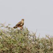 Kurhannik, Long-legged Buzzard, Buteo rufinus, Eilat, Izrael, 28.04.2015  (Israel)