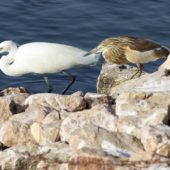 Czapla nadobna, Little Egret, Egretta garzetta i czapla modronosa, Aquacco Heron, Ardeola ralloides, Eilat, Izrael, 28.04.2015 (Israel)