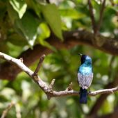Nektarnik palestyński, Palestine Sunbird, Nectarinia osea, Pardes Hanna, Izrael, 27.04.2015 (3) (Israel)