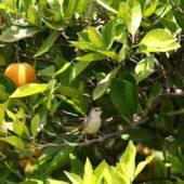 Prinia, Graceful Warbler, Prinia gracilis, Pardes Hanna, Izrael, 27.04.2015 (Israel)