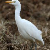 Czapla złotawa, Cattle Egret, Bubulcus ibis, Lizbona, Portugalia,13.10.2015 (Lisbon, Portugal)