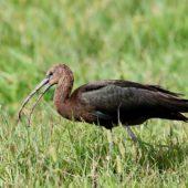 Ibis kasztanowaty, Glossy Ibis, Plegadis falcinellus, Corvo, Azory, Portugalia, 15.10.2015 (3) (Azores, Portugal)