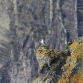 Mewa romańska, Yellow-legged Gull, Larus michahellis atlantis, Corvo, Azory, Portugalia, 19.10.2015 (Azores, Portugal)