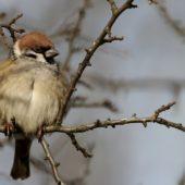 Mazurek, Tree Sparrow, Pesser montanus, Gołuchowice, SLK, 06.01.2015 (1) (Polska, Poland)