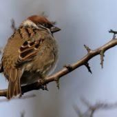 Mazurek, Tree Sparrow, Pesser montanus, Gołuchowice, SLK, 06.01.2015 (2) (Polska, Poland)