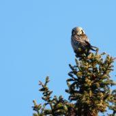 Sowa jarzębata, Hawk Owl, Surnia ulula, Uppsala, Szwecja, 03.02.2013 (2) (Sweden)