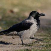 Wrona siwa, Hooded Crow, Corvus cornix, Dąbrowa Górnicza, SLK, 29.12.2015 (1) (Polska, Poland)