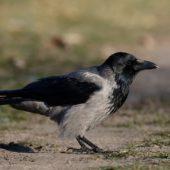 Wrona siwa, Hooded Crow, Corvus cornix, Dąbrowa Górnicza, SLK, 29.12.2015 (2) (Polska, Poland)