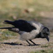 Wrona siwa, Hooded Crow, Corvus cornix, Dąbrowa Górnicza, SLK, 29.12.2015 (3) (Polska, Poland)