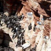 Kolonia lęgowa nurzyka, mewy trójpalczastej, głuptaka, Helgoland, Niemcy, 28.05.2015 (1) (Breeding colony of Common Murre, Kittywake, Gannet, Germany)