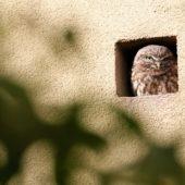 Pójdźka, Little Owl, Athene noctua, Piekary Śląskie, SLK, 09.10.2015 (Polska, Poland)