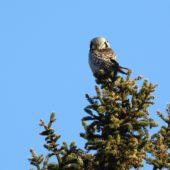 Sowa jarzębata, Hawk Owl, Surnia ulula, Uppsala, Szwecja, 03.02.2013 (1) (Sweden)