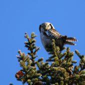 Sowa jarzębata, Hawk Owl, Surnia ulula, Uppsala, Szwecja, 03.02.2013 (3) (Sweden)