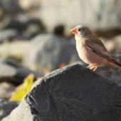 Gilak pustynny, Trumpeter Finch, Bucanetes githagineus, Fuerteventura, 28.01.2016 (3) (Wyspy Kanaryjskie, Hiszpania, Canary Islands, Spain)