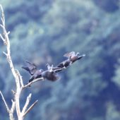 Gołąb kanaryjski, Bolle`s Pigeon, Columba bollii, La Palma, 21.01.2016 (4) (Wyspy Kanaryjskie, Hiszpania, Canary Islands, Spain)