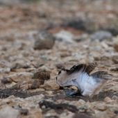 Hubara saharyjska, Houbara Bustard, Chlamydotis undulata fuertaventurae, Fuerteventura, 29.01.2016 (8) (Wyspy Kanaryjskie, Hiszpania, Canary Islands, Spain)