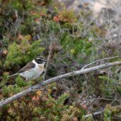 Kląskawka kanaryjska, Fuerteventura Chat, Saxicola dacotiae, Fuerteventura, 27.01.2016 (6)(Wyspy Kanaryjskie, Hiszpania, Canary Islands, Spain)