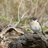 Kląskawka kanaryjska, Fuerteventura Chat, Saxicola dacotiae, Fuerteventura, 27.01.2016 (3)(Wyspy Kanaryjskie, Hiszpania, Canary Islands, Spain)