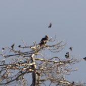 Orzeł iberyjski, Spanish Imperial Eagle, Aquila adlaberti, Turegano, 18.01.2016 (1) (Hiszpania, Spain)