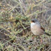 Pokrzewka okularowa, Spectacled Warbler, Sylvia conspicillata, Fuerteventura, 27.01.2016 (1)(Wyspy Kanaryjskie, Hiszpania, Canary Islands, Spain)
