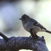 Zięba czarnoczelna, Gran Canaria Blue Chaffinch, Fringilla polatzeki, Gran Canaria, 24.01.2016 (5) (Wyspy Kanaryjskie, Hiszpania, Canary Islands, Spain)