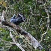 Gołąb kanaryjski, Bolle`s Pigeon, Columba bollii, La Palma, 21.01.2016 (2) (Wyspy Kanaryjskie, Hiszpania, Canary Islands, Spain)