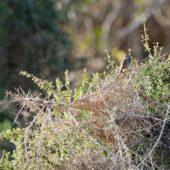 Chwastówka, Zitting Cisticola, Cisticola juncidis, Oued Massa, Maroko, 01.03.2016 (Morocco)