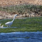 Czapla nadobna, Little Egret, Egretta garzetta, Sidi Abed, Maroko, 08.03.2016 (1) (Morocco)