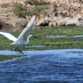 Czapla nadobna, Little Egret, Egretta garzetta, Sidi Abed, Maroko, 08.03.2016 (2) (Morocco)