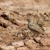 Dzierlatka długodzioba, Maghreb Lark, Galerida macrorhyncha, Ouarzazate, Maroko, 11.03.2016 (2) (Morocco)