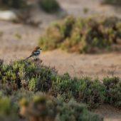 Dzierzba rudogłowa, Woodchat Shrike, Lanius senator, Guelmim, Maroko, 02.03.2016 (1) (Morocco)