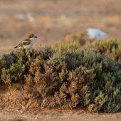 Dzierzba rudogłowa, Woodchat Shrike, Lanius senator, Guelmim, Maroko, 02.03.2016 (2) (Morocco)