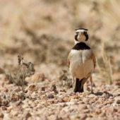 Górniczek mały, Temminck's Lark, Eremophila bilopha, Dakhla-Aousserd, Sahara Zachodnia, 04.03.2016 (3) (Western Sahara)