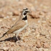 Górniczek mały, Temminck's Lark, Eremophila bilopha, Dakhla-Aousserd, Sahara Zachodnia, 04.03.2016 (4) (Western Sahara)