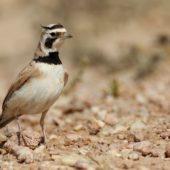 Górniczek mały, Temminck's Lark, Eremophila bilopha, Dakhla-Aousserd, Sahara Zachodnia, 04.03.2016 (5) (Western Sahara)
