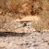 Lelek egipski, Egyptian Nightjar, Caprimulgus aegyptius, Rissani, Maroko, 10.03.2016 (1) (Morocco)