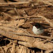 Pokrzewka aksamitna, Sardinian Warbler, Sylvia melanocephala, Oued Massa, Maroko, 01.03.2016 (Morocco)