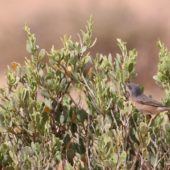 Pokrzewka wąsata (uboga), Subalpine Warbler, Sylvia cantillans (inornata), Guelmim, Maroko, 02.03.2016 (3) (Morocco)