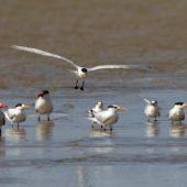 Rybitwy, Terns, Dakhla Bay, Sahara Zachodnia, 06.03.2016 (Western Sahara)