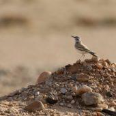 Skowron pustynny, Hoopoe Lark, Alaemon alaudipes, Dakhla-Aousserd, Sahara Zachodnia, 04.03.2016 (2) (Western Sahara)