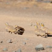 Stepówka rudogardła, Spotted Sandgrouse, Pterocles senegallus, Rissani, Maroko, 10.03.2016 (1) (Morocco)
