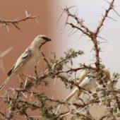 Wróbel pustynny, Desert Sparrow, Passer simplex, Aousserd, Sahara Zachodnia, 05.03.2016 (4) (Western Sahara)