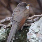 Kukawik żółtodzioby, Yellow-billed Cuckoo, Coccyzus americanus, Corvo, Azory, Portugalia, 25.10.2016 (3) (Azores, Portugal)