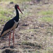 Bocian czarny, Black Stork, Ciconia nigra, Woźniki, SLK, 21.05.2016 (Polska, Poland)