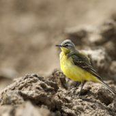 Pliszka zółta, Yellow Wagtail, Motacilla flava, Woźniki, SLK, 11.05.2016 (2) (Polska, Poland)