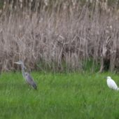 Czapla nadobna, Little egret, Egretta garzetta, Zbiornik Przeczyce, SLK, 17.04.2016 (Polska, Poland)