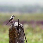 Dzierzba czarnoczelna, Lesser Grey Shrike, Lanius minor, Vashlovani, Gruzja, 05.06.2013 (Georgia)