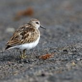 Biegus karłowaty, Least Sandpiper, Calidris minutilla, Flores, Azory, Portugalia, 19.10.2016 (1) (Azores, Portugal)